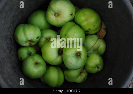 Cooking apples in a barrel. - Stock Photo