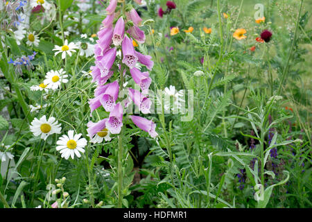 Foxglove and oxeye daisies wild flowers - Stock Photo
