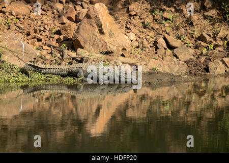 Crocodiles in the Indian Jungle, Ranthambore, Rajasthan, India - Stock Photo