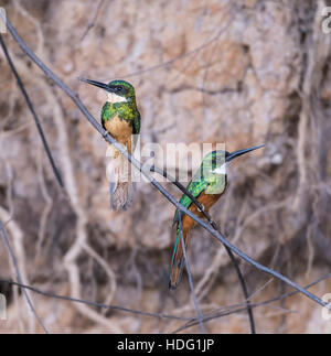Rufous-tailed Jacamar (Galbula ruficauda) pair - Stock Photo