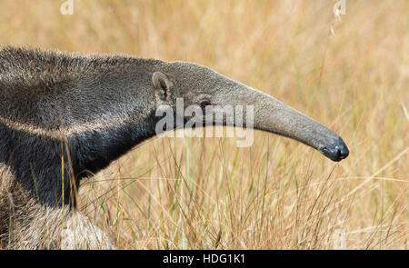 Giant Anteater (Myrmecophaga tridactyla) portrait - Stock Photo