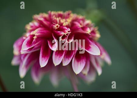 Purple dahlia Little Tiger with white petal's rims close up - Stock Photo