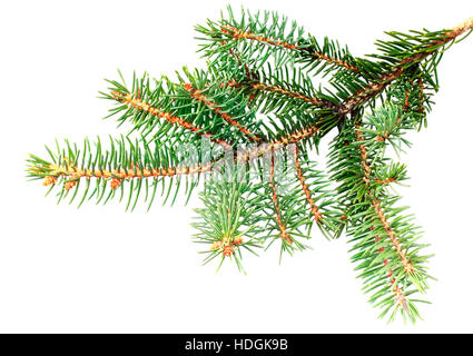 Fresh green fir branches .Isolated on white background - Stock Photo