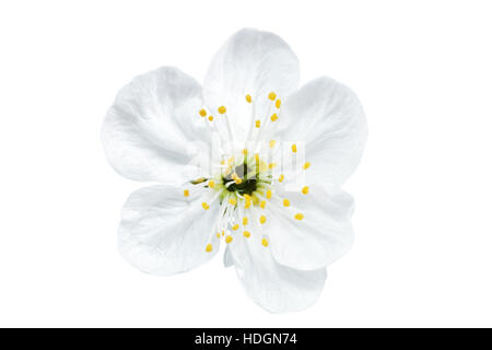 Single flower of cherry.  Isolated on white background - Stock Photo