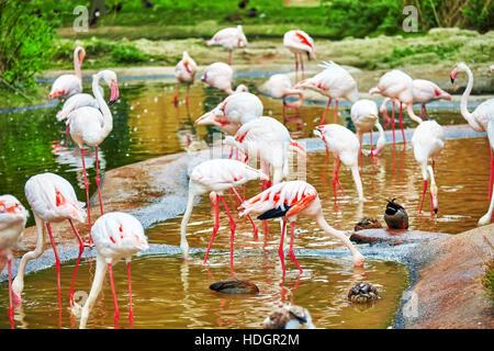 Flock of the Pink flamingo in nature (Phoenicopterus roseus). - Stock Photo