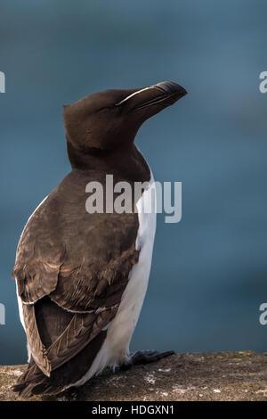 Razorbill on the isle of May, Scotland. - Stock Photo