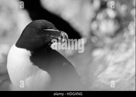 Razorbill on the isle of May, Scotland. - Stock Photo