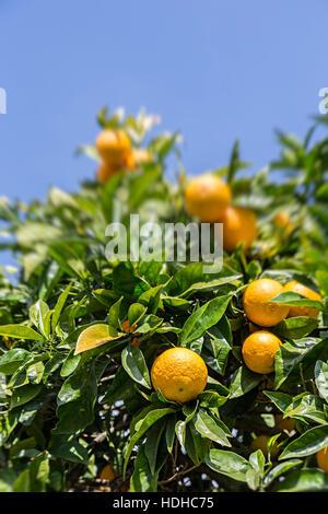 Oranges growing on tree, Cruz dos Madeiros, Algarve, Portugal - Stock Photo