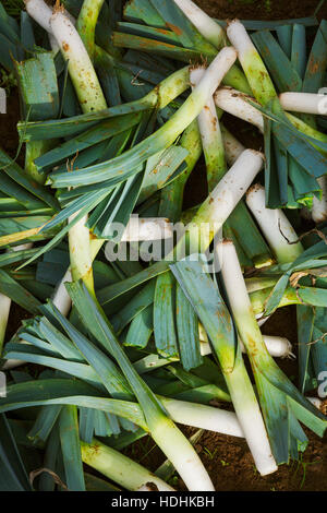 Freshly harvested leeks with white and green leaves. - Stock Photo