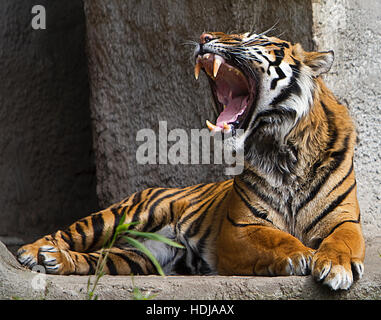 Front view close up shot of a Tiger roaring - Stock Photo