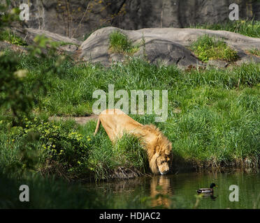 A male lion drinking water from a pond - Stock Photo