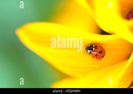 Seven-spotted Ladybird (Coccinella septempunctata) on a sunflower (Helianthus) - Stock Photo