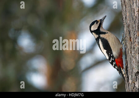 The female Great Spotted Woodpecker or Greater Spotted Woodpecker (Dendrocopos major) sitting on the pine bark in - Stock Photo