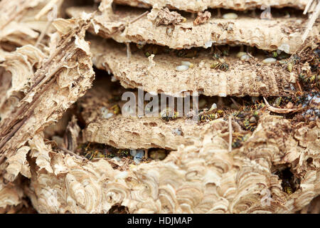 Close Up Of A Large Wasps Nest In A Church Attic Suffolk