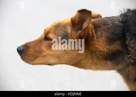 German Shepherd crossbred dog sniffing the breeze - Stock Photo
