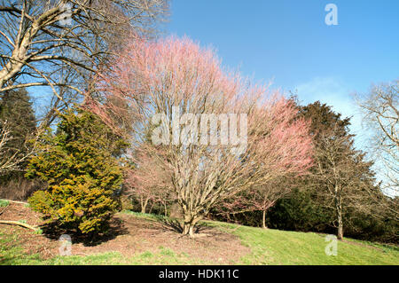Acer palmatum sango kaku winter stems - Stock Photo