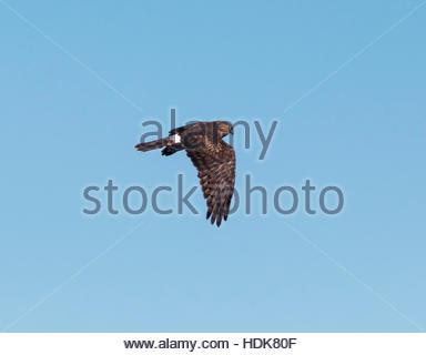 Northern Harrier Circus cyaneus female in flight Arizona - Stock Photo