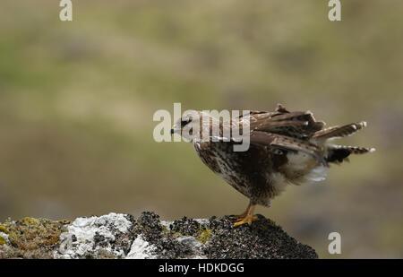 A  Buzzard (Buteo buteo) standing on a rock having a shake. - Stock Photo