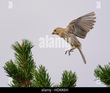 Baby house finch bird taking its first flight from one branch of the bristlecone pine tree to another. - Stock Photo