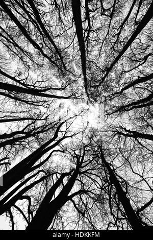 Beech trees in winter - wideangle view up into the canopy Somerset UK - Stock Photo
