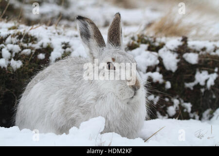 A Mountain Hare (Lepus timidus ) in its winter white coat , in a snow blizzard high in the Scottish mountains. - Stock Photo