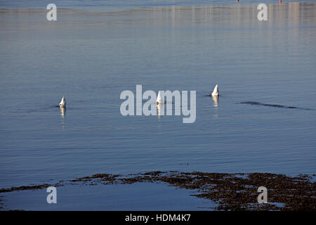 Three swans all facing away with their necks pointed down to the bed of the estuary and their bottoms up in the - Stock Photo