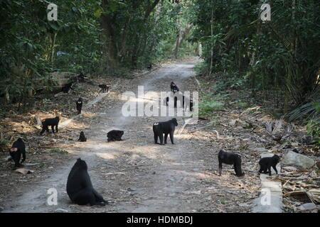 Celebes Crested Macaque, Macaca nigra, troup feeding - Stock Photo