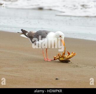 American herring gull (Larus smithsonianus), eating crab on beach, Stinson Beach, California, USA - Stock Photo