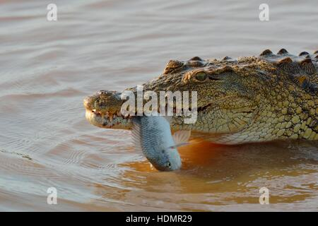 Nile crocodile (Crocodylus niloticus) with fish still alive in its mouth, Sunset Dam, Kruger National Park, Mpumalanga - Stock Photo