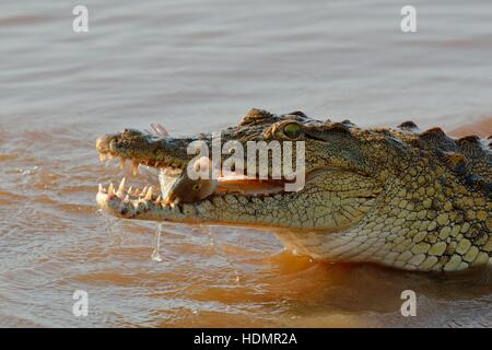 Nile crocodile (Crocodylus niloticus) with fish still alive in its mouth, Sunset Dam, Kruger National Park, Mpumalanga