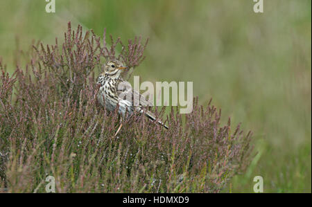 Meadow pipit  Anthus pratensis  perched on  Heather-Calluna. Summer. Uk - Stock Photo