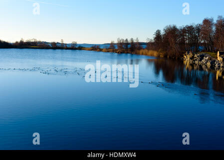Flock of tufted ducks (Aythya fuligula) in water filled quarry on a fine winter afternoon. Location Torko island - Stock Photo