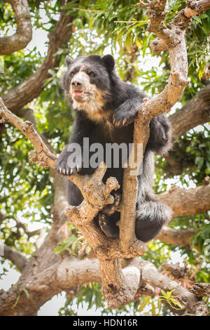 Peruvian Spectacled Bear or Andean Bear (Tremarctos ornatus) shows climbing ability on thin branch in tree in northern - Stock Photo