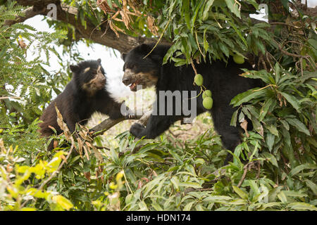 Two Peruvian Spectacled Bears or Andean Bears (Tremarctos ornatus) in a mango tree at Chaparri Reserve in northern - Stock Photo