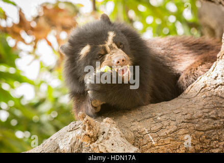 Peruvian Spectacled Bear or Andean Bear (Tremarctos ornatus) eating a mango in a tree at the Chaparri Reserve in - Stock Photo