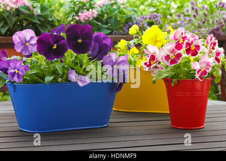 Purple, blue, red and yellow pansy flowers in 3 corresponding pots on a balcony table, copyspace, green background - Stock Photo