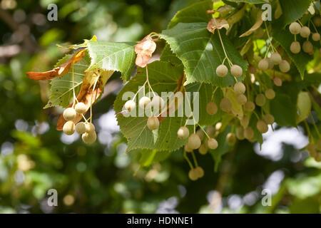 Sommer-Linde, Sommellinde, Sommer - Linde, Tilia platyphyllos, Früchte, Samen, Large Leave Lime - Stock Photo