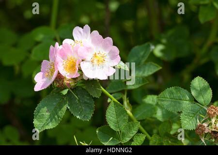Wein-Rose, Weinrose, Schottische Zaunrose, Rose, Wildrose, Rosa rubiginosa, syn. Rosa eglanteria, Sweet briar, Eglantine - Stock Photo