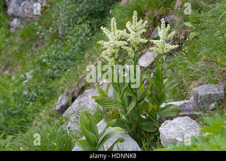 Weißer Germer, Veratrum album, White Veratrum - Stock Photo