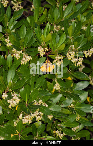 fruit of strawberry tree arbutus unedo for sale in the. Black Bedroom Furniture Sets. Home Design Ideas