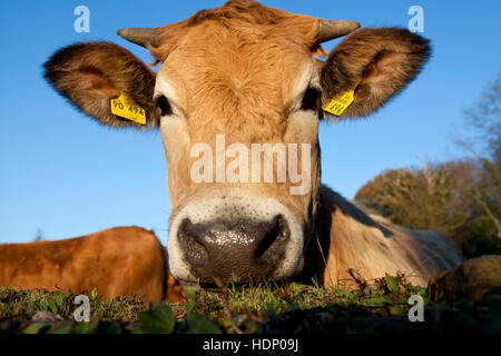 Europe, Germany, North Rhine-Westphalia, Herdecke, cow is looking over an ivy covered wall. - Stock Photo