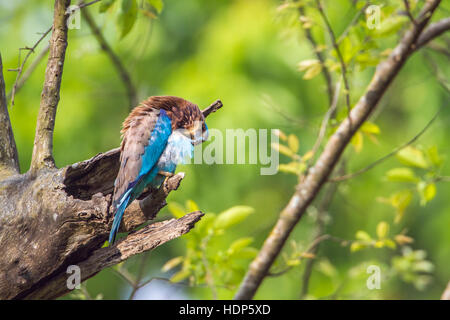 Indian roller Bardia national park, Nepal ; specie Coracias benghalensis family of Coraciidae - Stock Photo