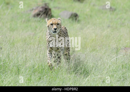 Cheetah (Acinonix jubatus) walking on savanna, Maasai Mara National Reserve, Kenya - Stock Photo