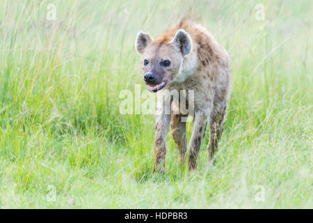 Spotted hyena (Crocuta crocuta) on savanna, Maasai Mara National Reserve, Kenya - Stock Photo