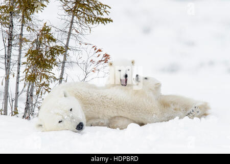 Polar bear mother (Ursus maritimus) with two cubs, Wapusk National Park, Manitoba, Canada - Stock Photo