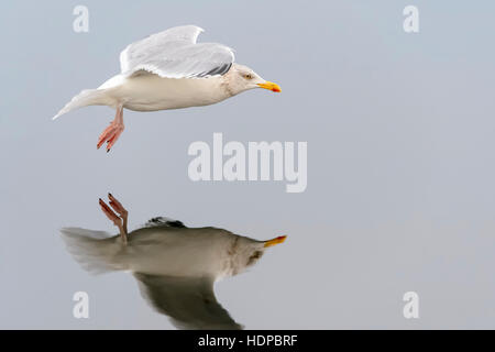 Herring gull (Larus argentatus), flying with reflection, Norway, Flatanger, Lauvsnes - Stock Photo