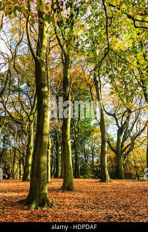 Beech trees in an autumn woodland - Stock Photo