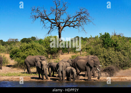 From Victoria Falls is possible to visit the nearby Botswana. Specifically Chobe National Park. Chobe - The Elephant - Stock Photo