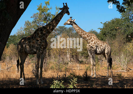 From Victoria Falls is possible to visit the nearby Botswana. Specifically Chobe National Park.  A pair of giraffes - Stock Photo