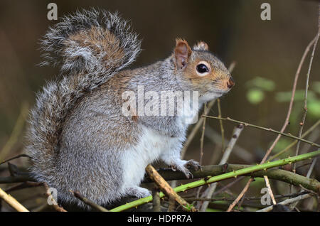 A grey squirrel sitting in a hedgerow UK
